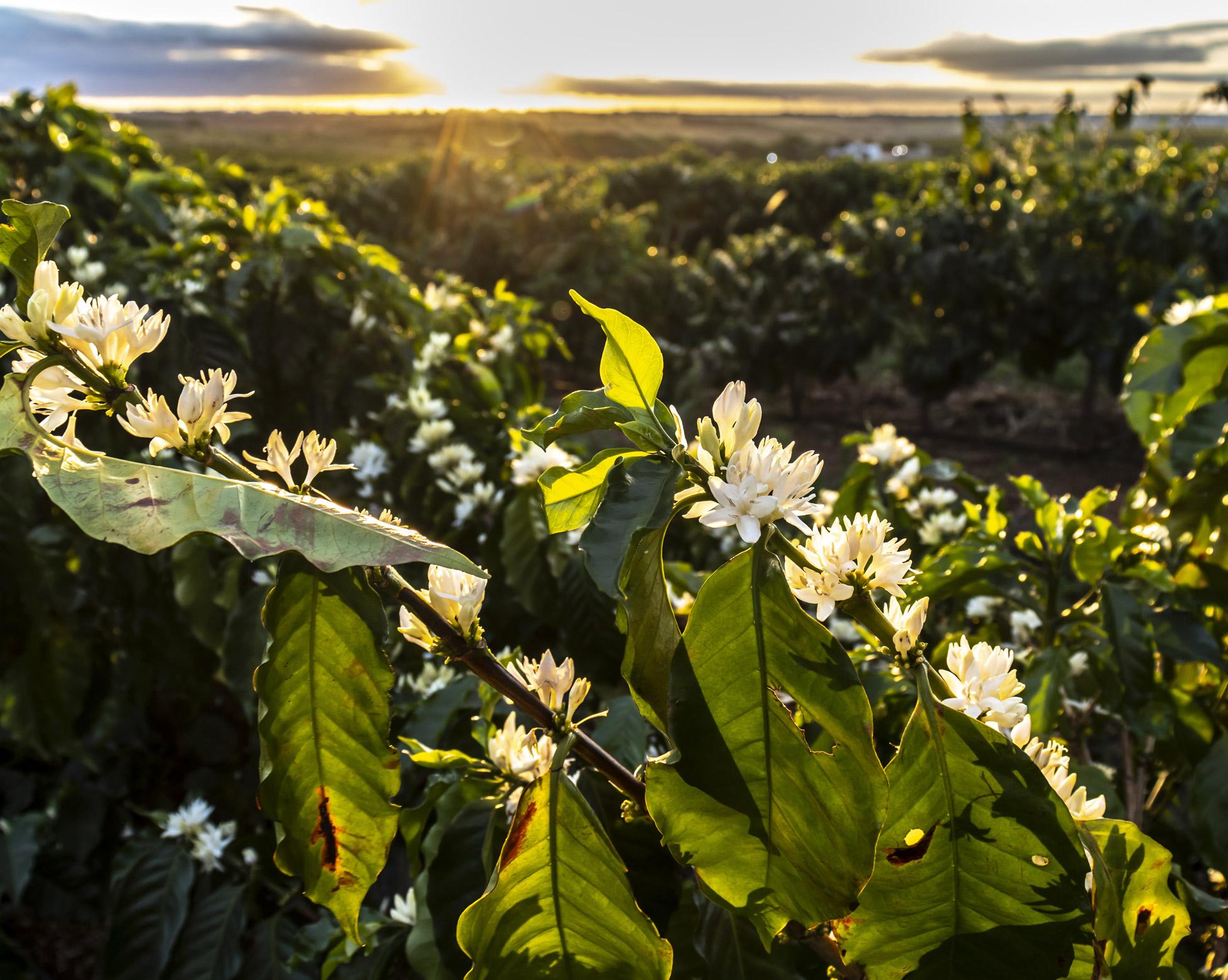 Kaffee Plantage Bio Kaffee