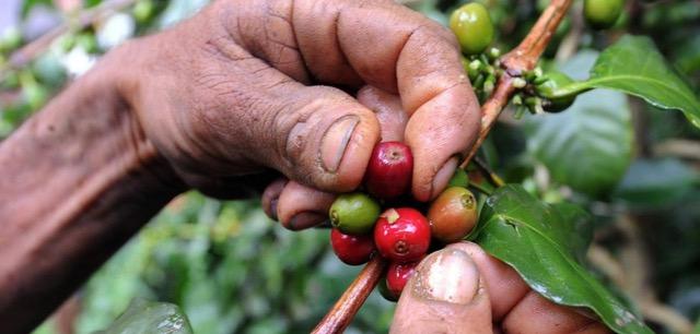Hand von einem Kaffeebauer der am Pflücken ist